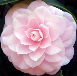 Pink Camellia Flower